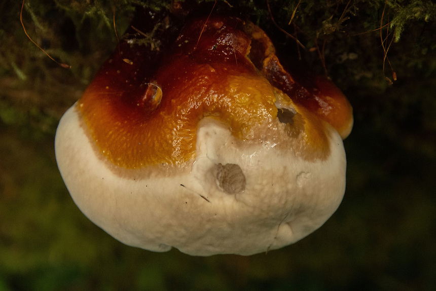 Fungus of the Temperate Rainforest, Olympic Peninsula, Washington, US