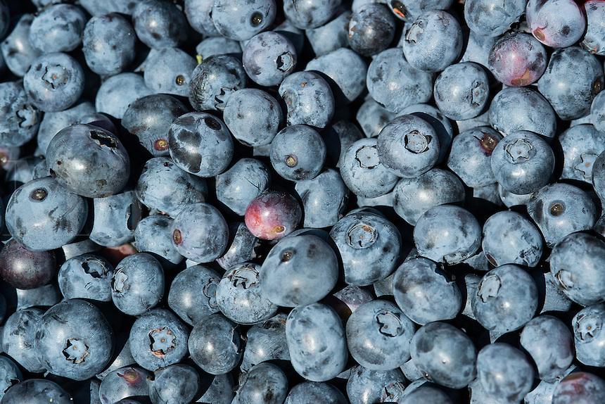 Blueberry harvest, New Jersey, USA