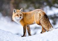 1667 Foxy
