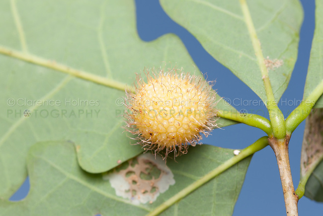 A Hedgehog Gall Wasp (Acraspis erinacei) gall on the underside of a White Oak (Quercus alba) leaf.