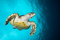 A Hawksbill turtle, Eretmochelys imbricata, descending from a breath of air in Southern Leyte, Philippines, Indo-Pacific Ocean