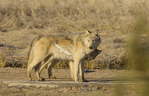 Wild GRAY WOLVES (Canis lupus)--approximately 6 month old pup (behind) being playful with his mom.  Greater Yellowstone Ecological Area.  Fall.