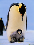 Perched on the insulated feet of an adult emperor penguin, the chick is protected from the Antarctic cold. The parent will shuttle this chick about in this fashion for the first ten weeks of its life.