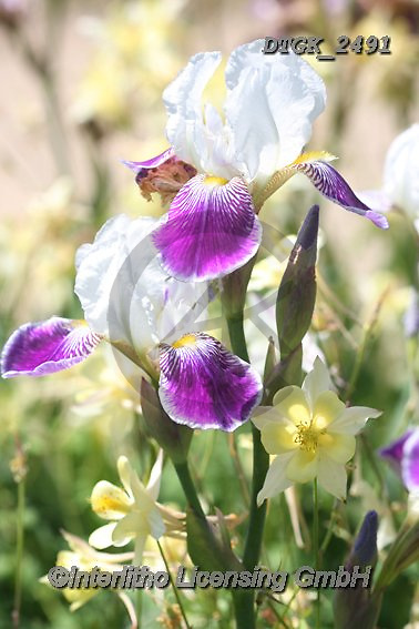 Gisela, FLOWERS, BLUMEN, FLORES, photos+++++,DTGK2491,#f#, EVERYDAY