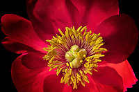 Close up of peony flower.