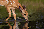 White-tailed fawn (Odocoileus virginianus) standing in a pond drinking water.  Summer 2005.  Winter, WI