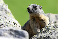 Young marmot on a stone in front of a blurry green background