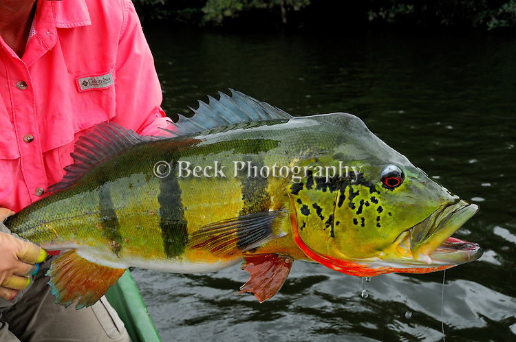 Amazon Peacock Bass