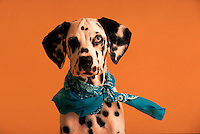 Portrait of a dalmatian puppy wearing a blue bandanna.