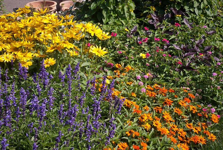 Rudbeckia, Zinnia Profusion Orange, Salvia farinacea, phlox, thunbergia clock vine, lantana, verbena, Mixed Annual flowers garden to attract pollinators, small garden