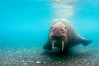 Atlantic walrus, Odobenus rosmarus rosmarus, Poolepynten, Prins Karls Forland, Svalbard, Norway, Atlantic Ocean