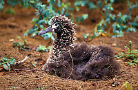Laysan albatross chick at the Kilauea wildlife reserve on the Big Island