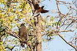 (Spilornis cheela) being mobbed by Indian Treepie (Dendrocitta vagabunda). Bandhavgarh NP, India.