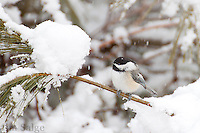 A chickadee rests on a branch during a snowstorm.