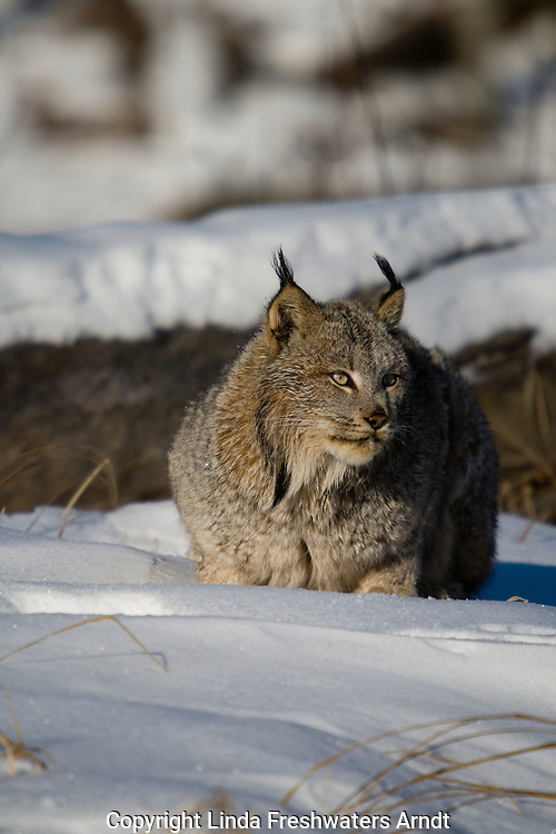 Canada lynx (Lynx canadensis) crouched in the snow
