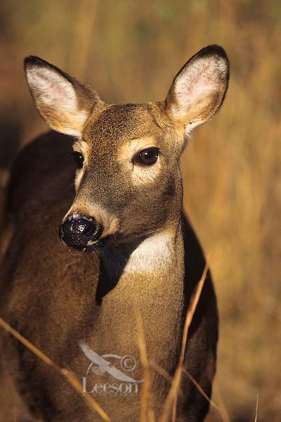 White-tail deer (Odocoileus virginianus) doe.