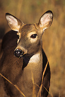 White-tail deer (Odocoileus virginianus) doe.