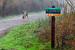 Coyote (Canis latrans) on hiking trail, Tennessee Valley, Mill Valley, Bay Area, California