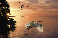 A Great egret takes flight as a flock of birds come in to land at sunset on Florida Bay. Everglades National Park, Florida.