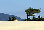 Tree on sand dune spectacular rugged Oregon Coast, sand dune, Spectacular views of Oregon Coast, Coast coastline of Oregon, Coastline, Lincoln City Oregon, intertidal, tide pools, starfish, anemone, crabs, chitons, limpets, sea slugs, sea birds, terns, puffins, Rugged Oregon Coast, Spectacular views of Oregon Coast, Fine Art Photography by Ron Bennett, Fine Art, Fine Art photography, Art Photography, Copyright RonBennettPhotography.com ©