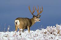 Mule deer buck (Odocoileus hemionus).  Northern Rockies, October.