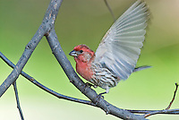 Male House Finch (Carpodacus mexicanus) about to take flight.  Spring.