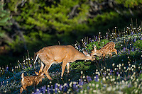 Columbian black-tailed deer (Odocoileus hemionus columbianus) doe with her young fawns among wildflowers--lupine and bistort in subalpine meadow.  Pacific Northwest.  Summer.