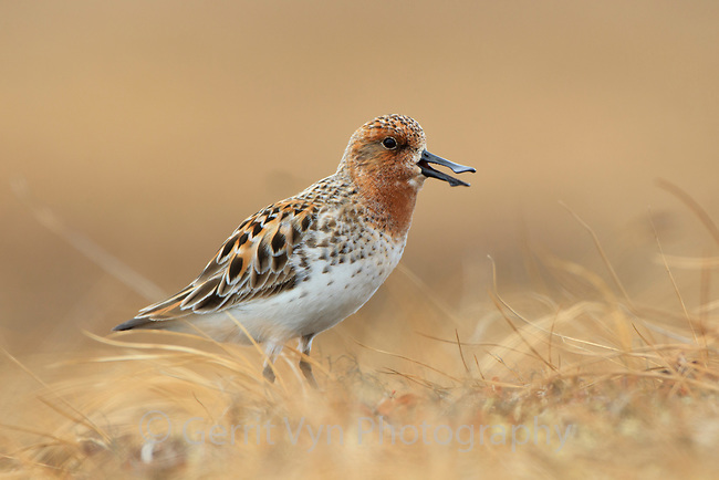As soon as male Spoon-billed Sandpipers arrive on the breeding grounds they begin vocalizing and pursuing mates.  Males often stand alert patrolling their territory and keep an eye on their female. They also prospect for potential nest cups and show them to the female. Chukotka, Russia. June.