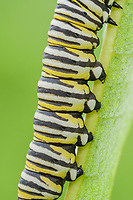 A close-up of Monarch Butterfly (Danaus Plexippus) caterpillar (larva) 5th instar on a Milkweed plant leaf, showing the prolegs and striped coloration.