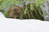 Fisher in the snow - CA