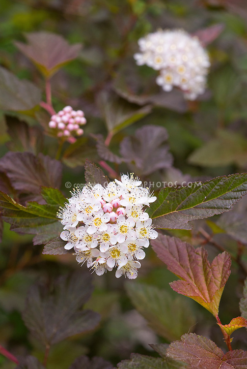 Physocarpus opulifolius 'Coppertina'  (as known in North America) aka 'Diable d'Oro' in Europe, aka Mindia, shrub in June late spring flower