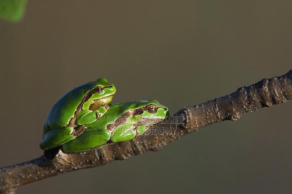 Common Tree Frog, Hyla arborea, adult resting, National Park Lake Neusiedl, Burgenland, Austria, Europe