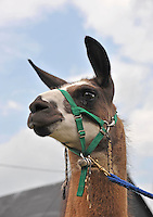 Close-up of female Llama taken at Shropshire and West Midlands Show.