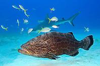 Black Grouper, Mycteroperca bonaci, Caribbean Reef Shark, Carcharhinus perezi, and Yellowtail Snappers, Ocyurus chrysurus, West End, Grand Bahamas, Atlantic Ocean