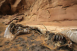 A mule deer buck lies where he died in Horseshoe Canyon at Canyonlands National Park, Utah. © Michael Brands.