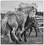 Icelandic ponies playing