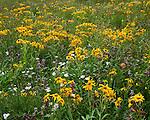 San Juan Mountains, CO<br /> Detaill of yellow flowering sneezeweed (Dugaldia hoopesii) and purple flowering penstemon (Penstemon whippleanus)