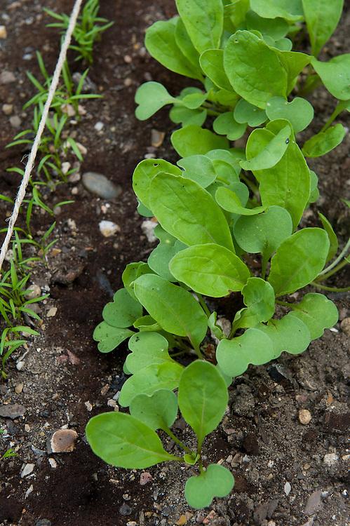 Salad rocket and carrot seedlings, mid June. Seeds sown just 2 weeks earlier.