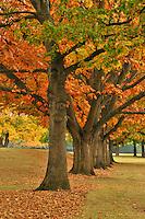 Red oaks at Fernhill Park in Portland Oregon