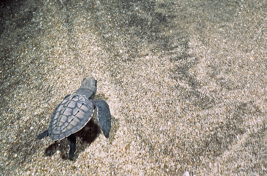 Marine Turtles Hatch ling swimming away after hatched