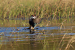 Drake wood duck flapping his wings