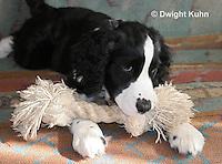SH25-662z English Springer Spaniels puppy