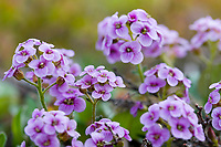 Purple cress wildflowers, Denali National Park, Interior, Alaska.