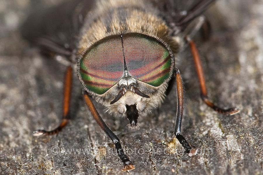 Bremse, Pferdefliege, Männchen, Portrait, Porträt mit Facettenauge, Auge, Augen, Hybomitra bimaculata, male, Horsefly, Horse-fly, Bremsen, Tabanidae, Horseflies, Horse-flies,