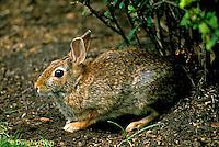 MA24-040z  Cottontail Rabbit  - Sylvilagus floridanus.