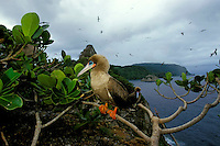 Red-footed booby, Sula sula, Cocos Island, Pacific Ocean