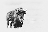 A frosty bison poses on a cold morning in Swan Lake Flat.