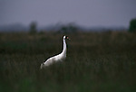Whooping crane walking through grass in Aransas National Wildlife Refuge, Texas