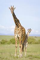 Masai Giraffe (Giraffa camelopardalis tippelskirchi), adult female with young, Masai Mara, Kenya, Africa