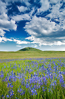 Camas and prairie with storm clouds. Zumwalt Prairie Preserve. Oregon.
